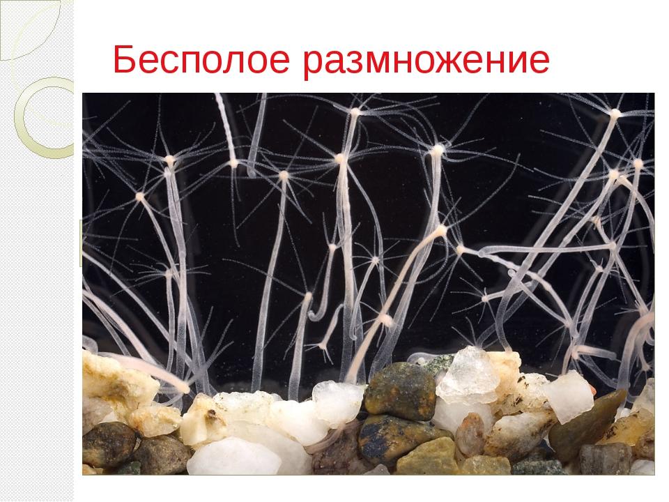 Бесполое размножение При бесполом размножении новые организмы развиваются из...