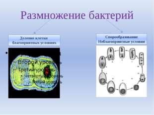 Размножение бактерий Деление клетки благоприятных условиях Спорообразование Н