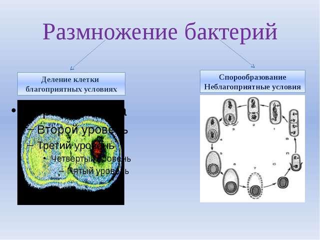 Размножение бактерий Деление клетки благоприятных условиях Спорообразование Н...