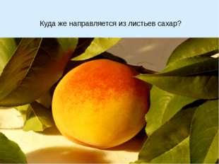 Куда же направляется из листьев сахар?