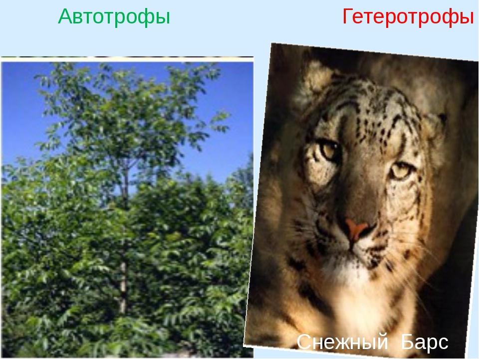 Автотрофы Гетеротрофы Снежный Барс