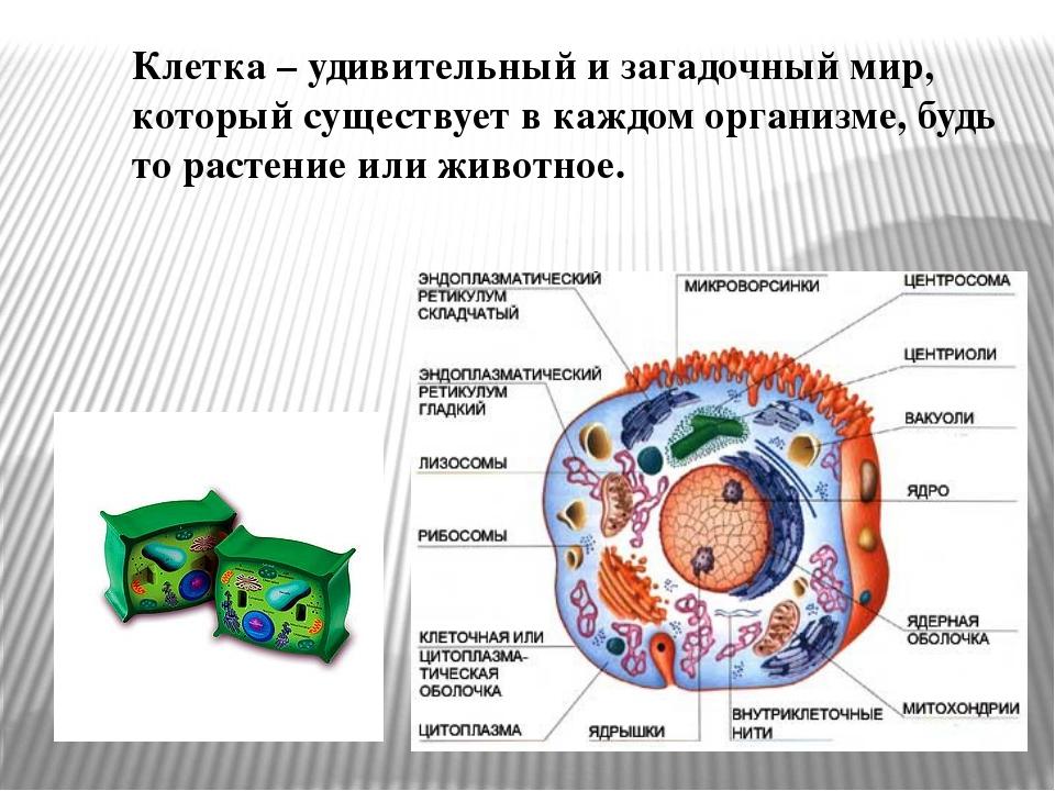 Клетка – удивительный и загадочный мир, который существует в каждом организме...