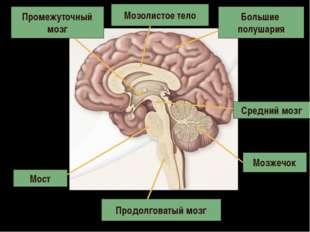 Продолговатый мозг Мост Мозжечок Средний мозг Промежуточный мозг Большие полу