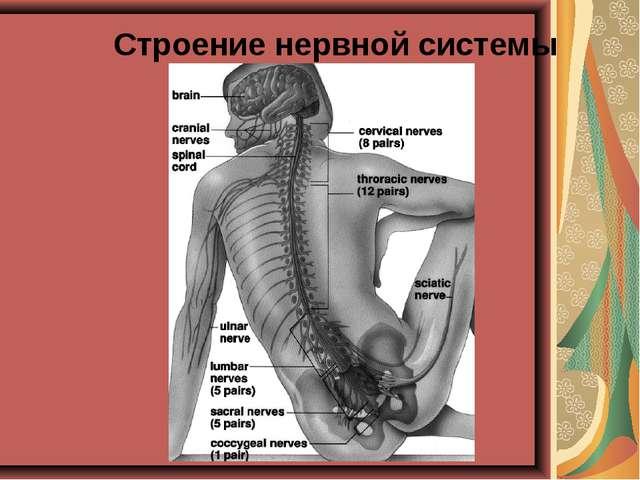 Строение нервной системы