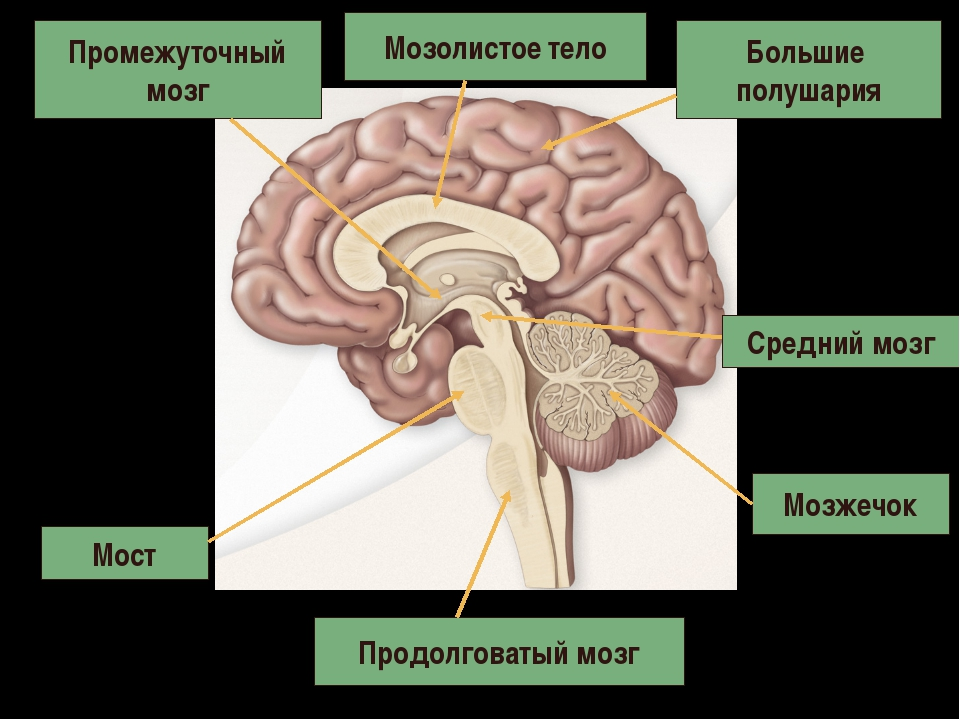 Продолговатый мозг Мост Мозжечок Средний мозг Промежуточный мозг Большие полу...
