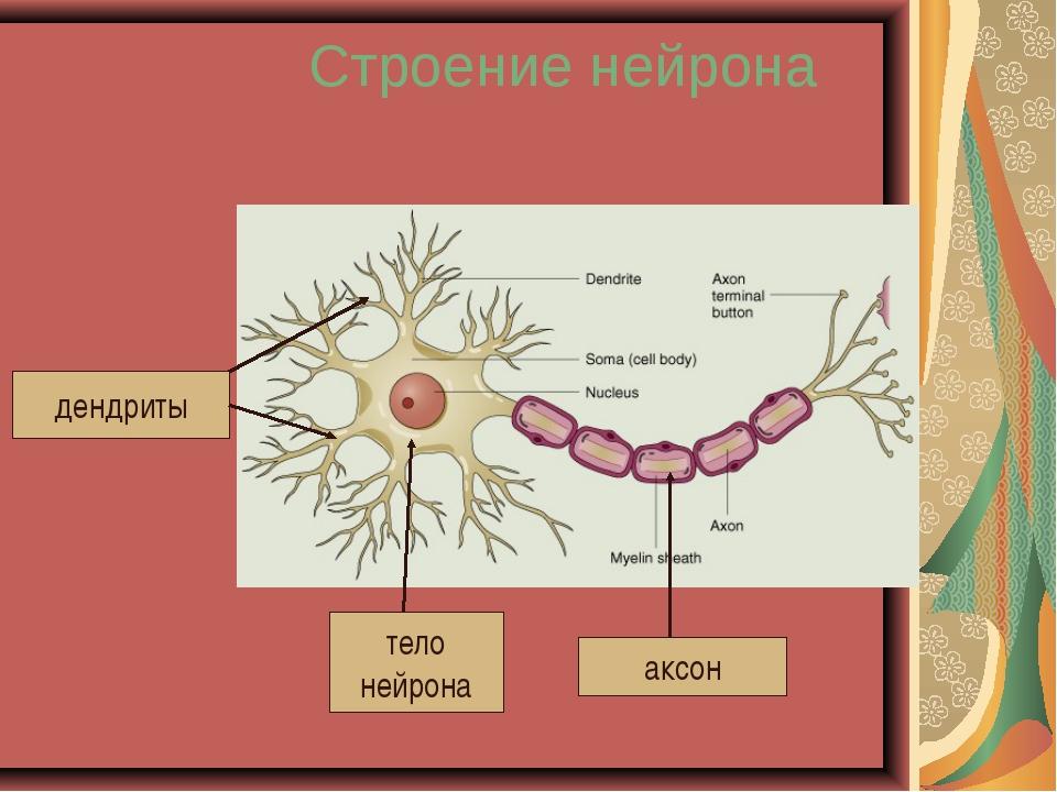 Строение нейрона дендриты тело нейрона аксон