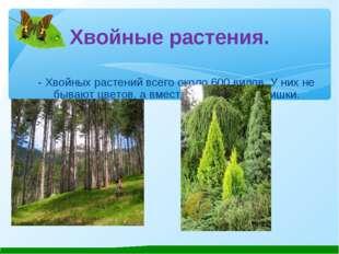 Хвойные растения. - Хвойных растений всего около 600 видов. У них не бывают ц