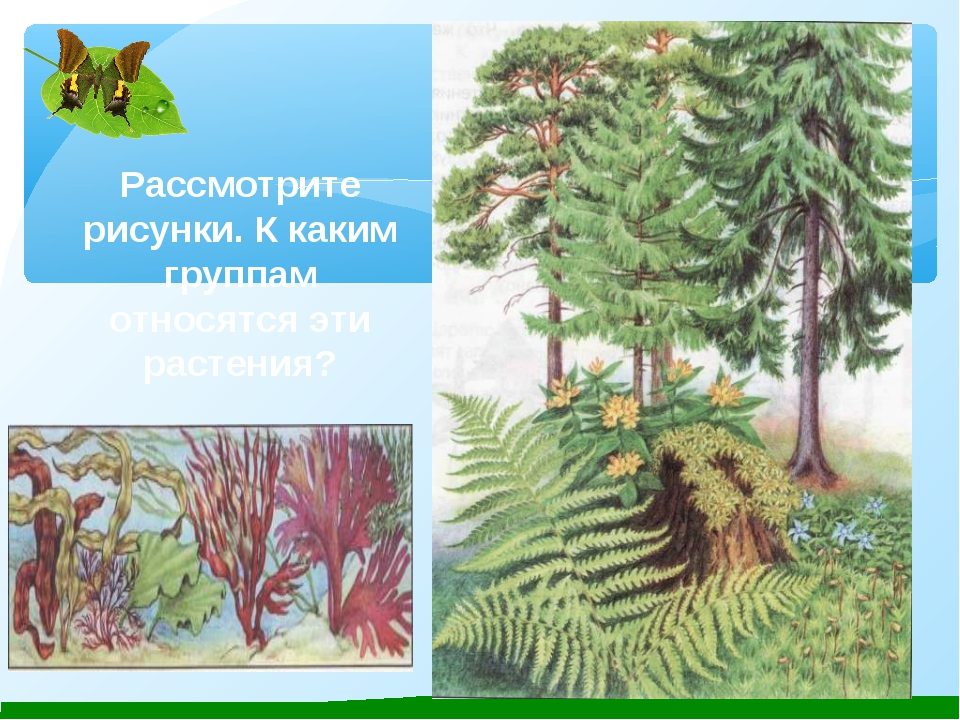 Рассмотрите рисунки. К каким группам относятся эти растения?