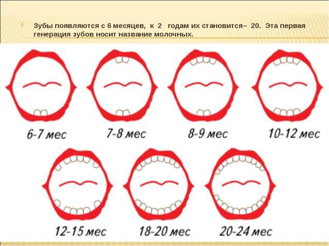 Зубы появляются с 6 месяцев, к 2 годам их становится– 20. Эта первая генераци...