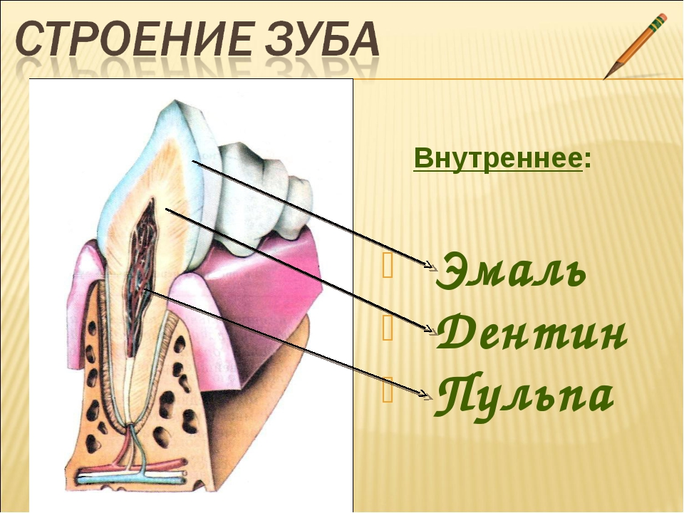 Внутреннее: Эмаль Дентин Пульпа