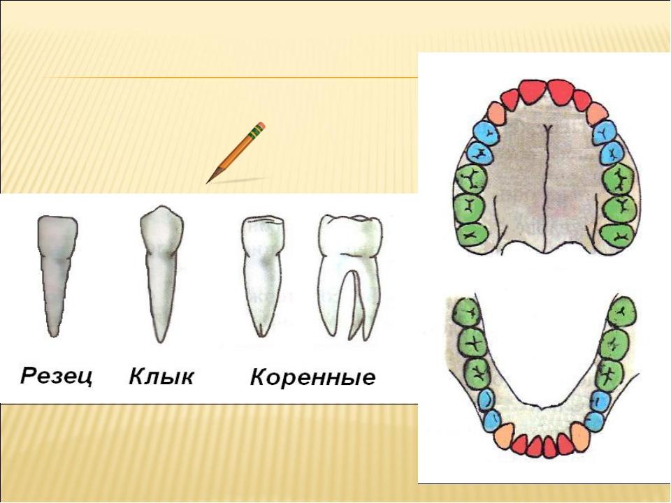 типы зубов человека в картинках решили, что