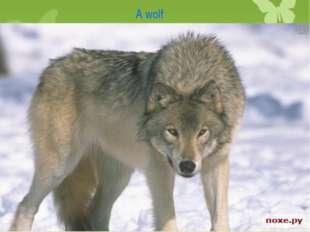 A wolf A wolf