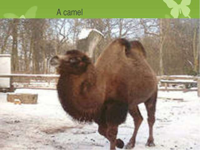 A camel