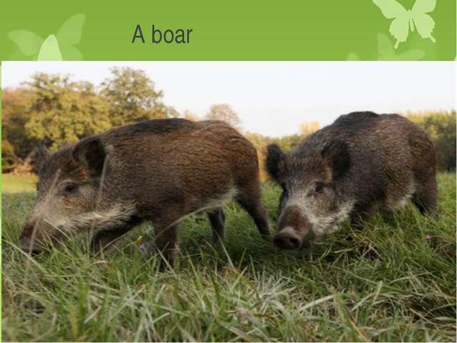 A boar