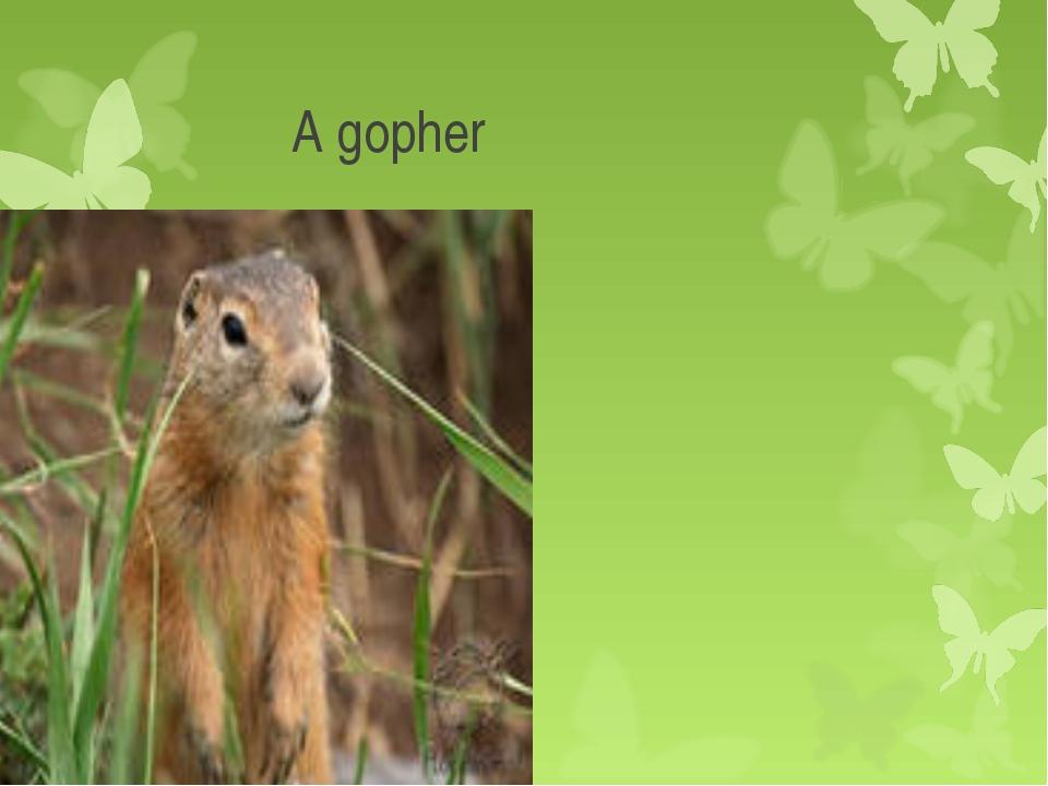 A gopher