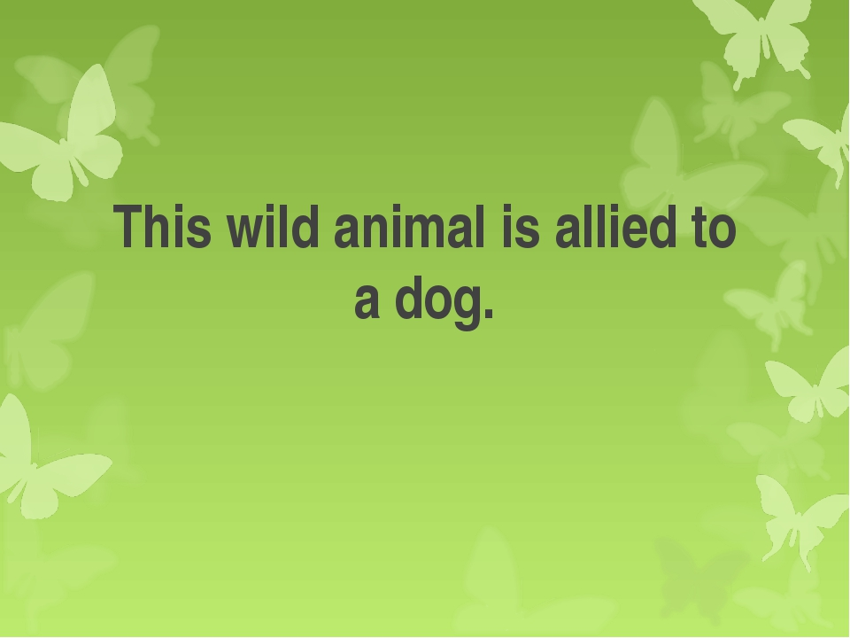 This wild animal is allied to a dog.