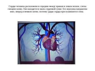 Сердце человека расположено в середине между правым и левым легким, слегка см