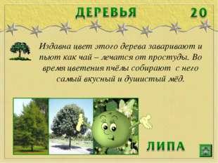 Издавна цвет этого дерева заваривают и пьют как чай – лечатся от простуды. Во