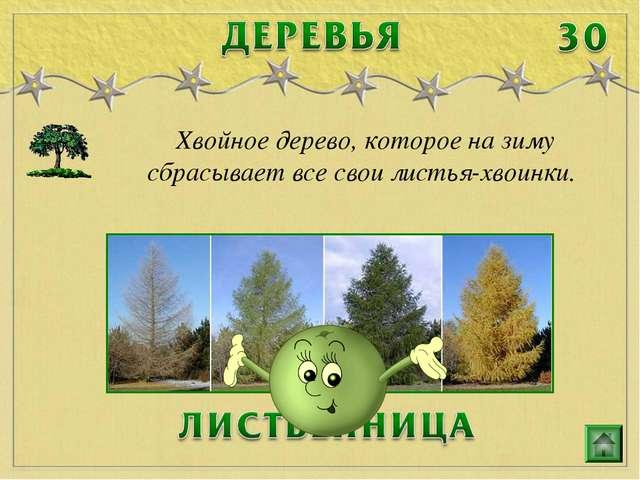 Хвойное дерево, которое на зиму сбрасывает все свои листья-хвоинки.