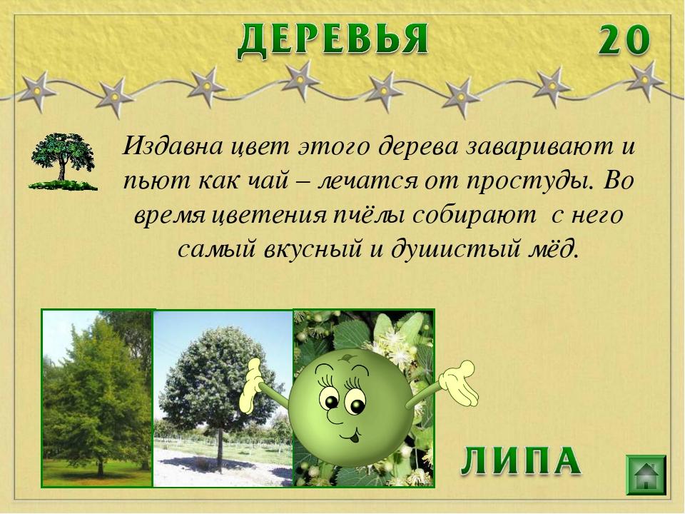 Издавна цвет этого дерева заваривают и пьют как чай – лечатся от простуды. Во...
