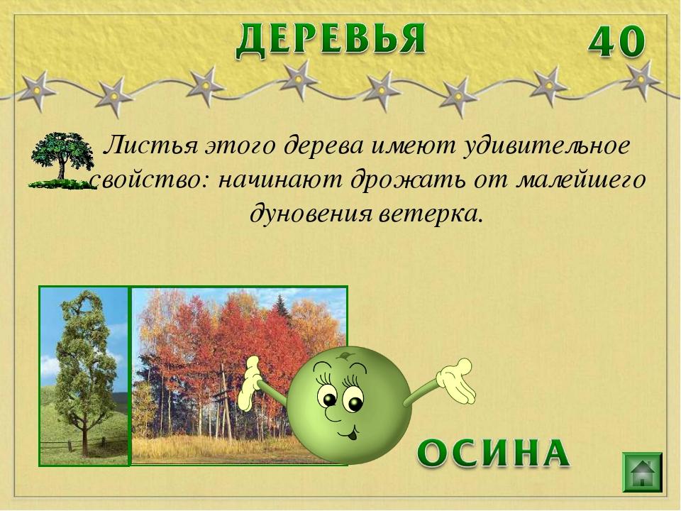 Листья этого дерева имеют удивительное свойство: начинают дрожать от малейшег...