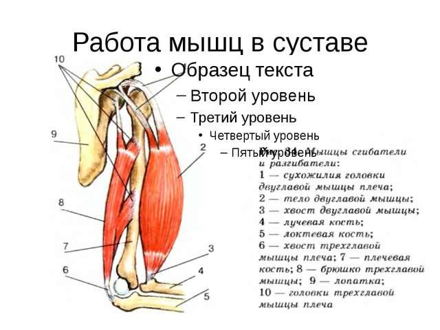Работа мышц в суставе