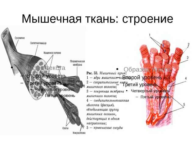 Мышечная ткань: строение