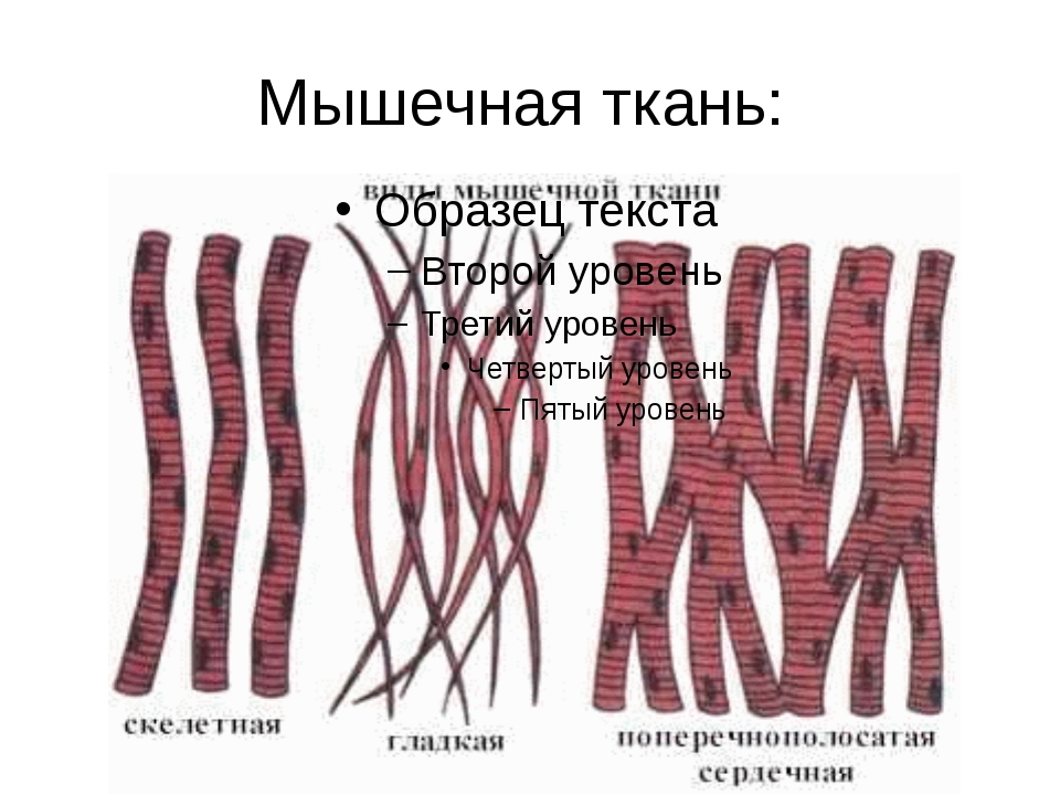 Мышечная ткань:
