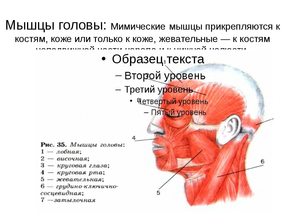 Мышцы головы: Мимические мышцы прикрепляются к костям, коже или только к коже...