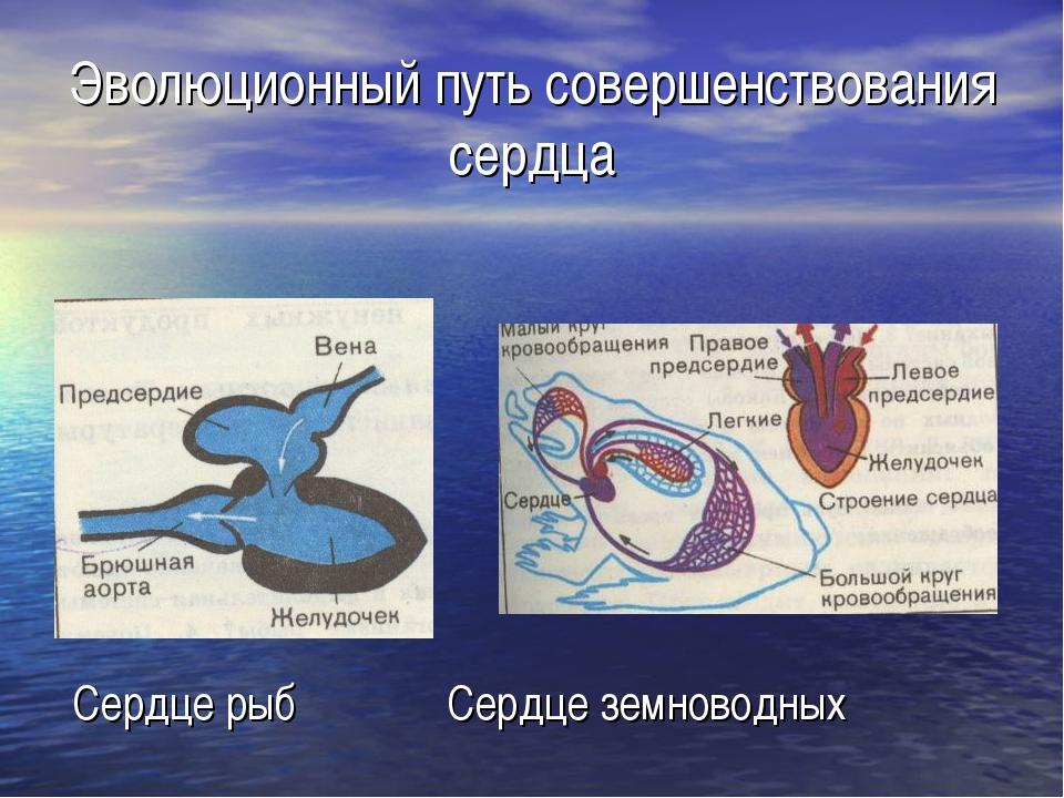 Эволюционный путь совершенствования сердца Сердце рыб Сердце земноводных