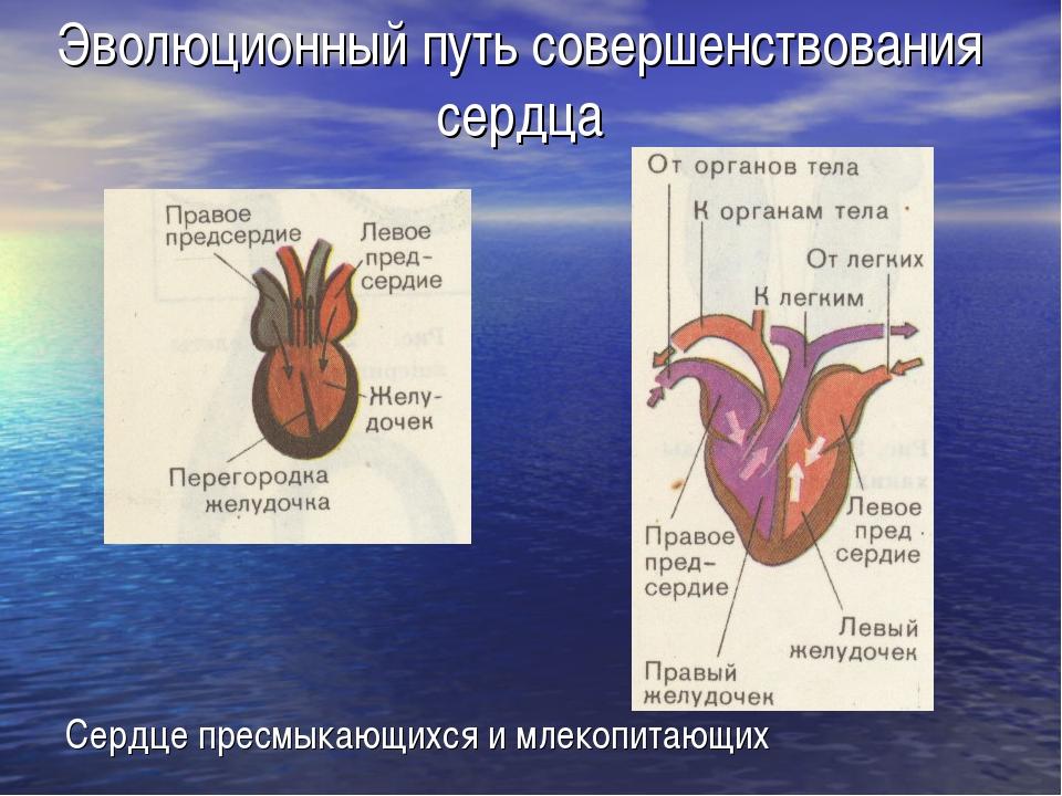 Эволюционный путь совершенствования сердца Сердце пресмыкающихся и млекопитаю...
