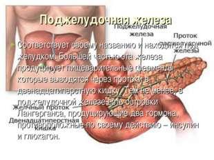 Поджелудочная железа Соответствует своему названию и находится под желудком.