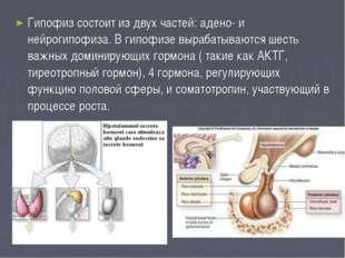 Гипофиз состоит из двух частей: адено- и нейрогипофиза. В гипофизе вырабатыва