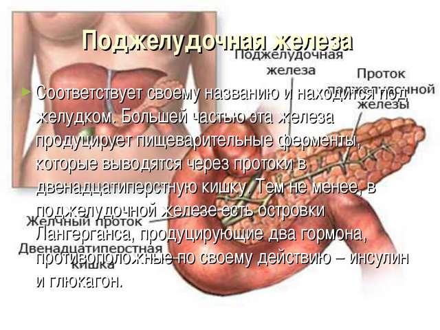 Поджелудочная железа Соответствует своему названию и находится под желудком....