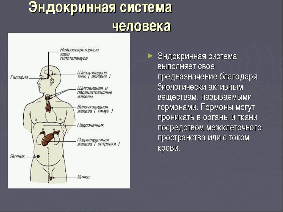 Эндокринная система человека Эндокринная система выполняет свое предназнач...