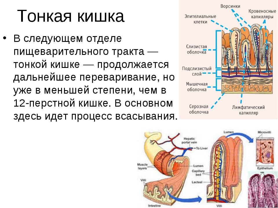 Тонкая кишка В следующем отделе пищеварительного тракта — тонкой кишке — прод...