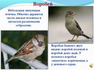 Воробей Небольшая зимующая птичка. Обычно держится около жилья человека и пит