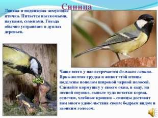 Синица Ловкая и подвижная зимующая птичка. Питается насекомыми, пауками, семе