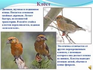 Клёст Эта птичка отличается от других перекрещенным клювом, с помощью которог