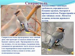 Свиристель Певчая птица с заметным гребешком, передвигается в больших группах