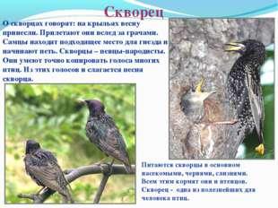 Скворец О скворцах говорят: на крыльях весну принесли. Прилетают они вслед за