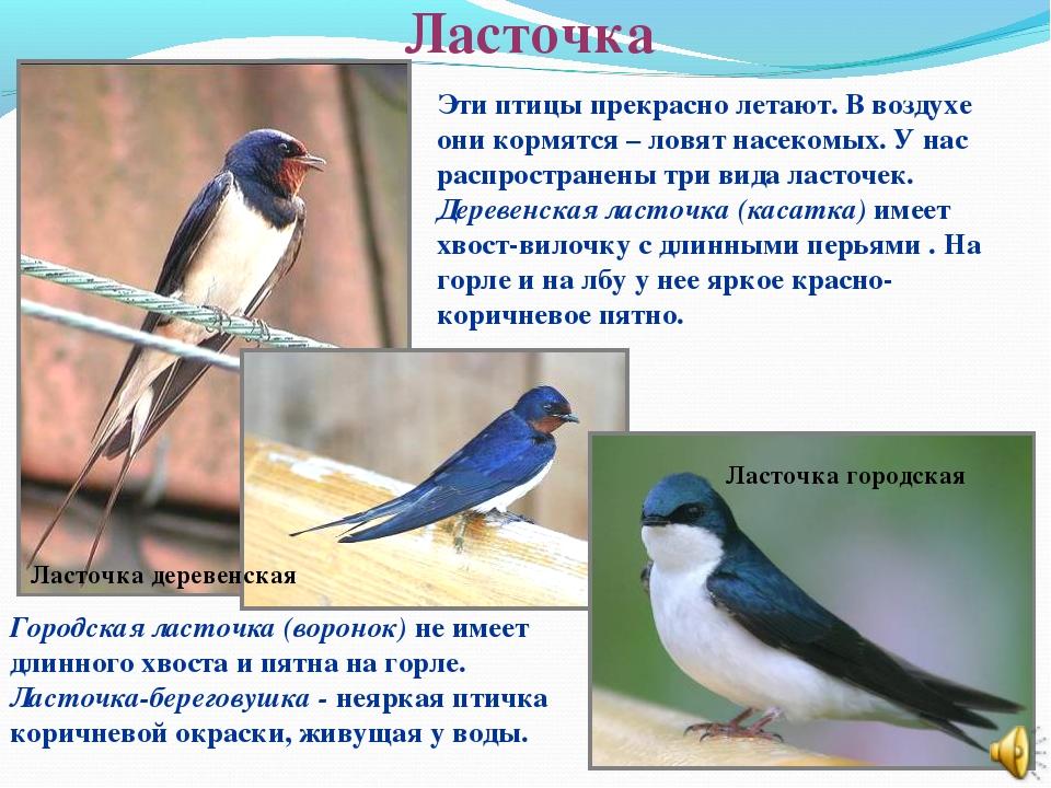 Ласточка Ласточка городская Ласточка деревенская Эти птицы прекрасно летают....