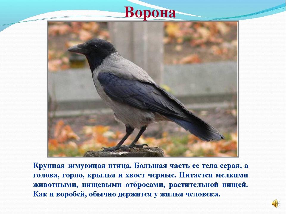 Ворона Крупная зимующая птица. Большая часть ее тела серая, а голова, горло,...