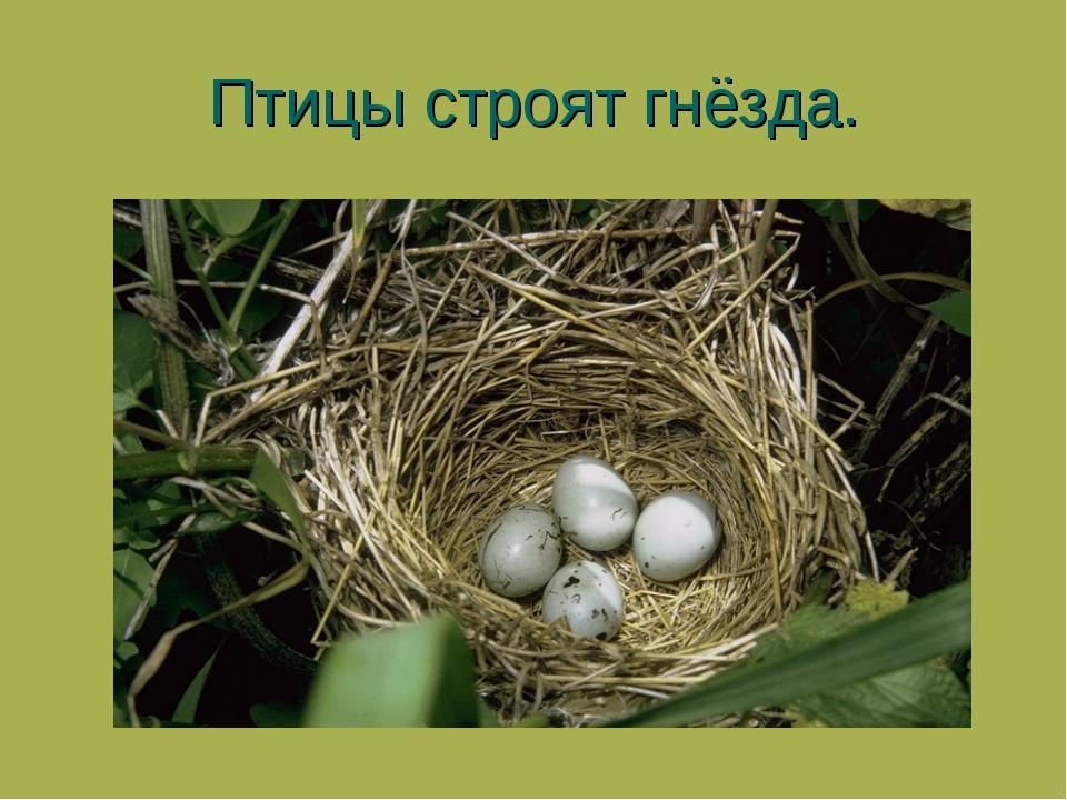 Птицы строят гнёзда.