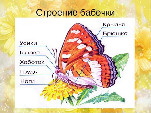 Строение бабочки