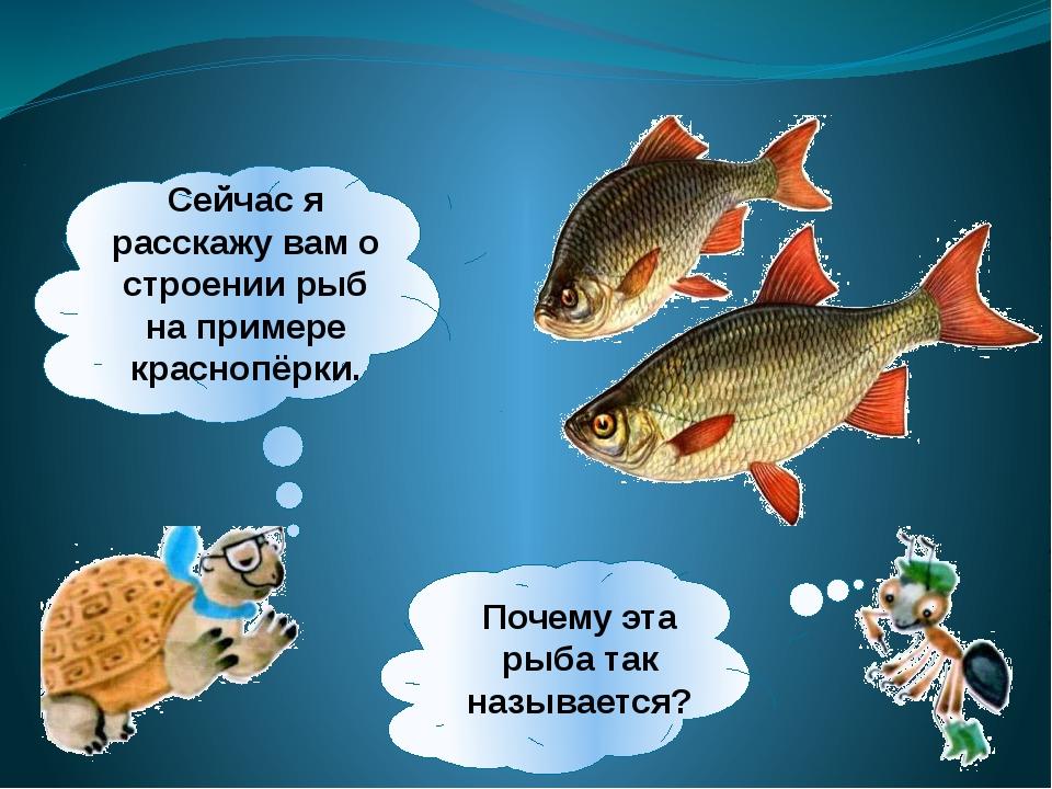Сейчас я расскажу вам о строении рыб на примере краснопёрки. Почему эта рыба...