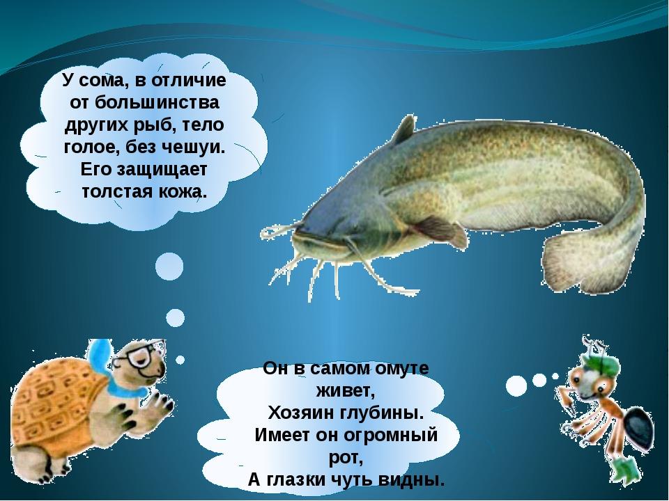 Усома, вотличие отбольшинства других рыб, тело голое, без чешуи. Его защищ...