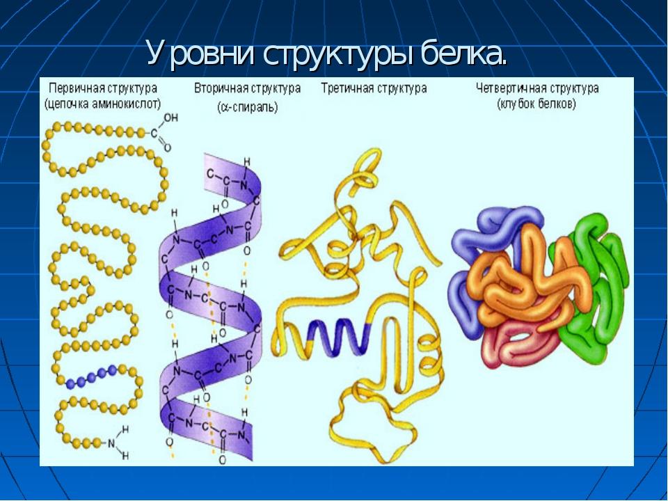 Уровни структуры белка.