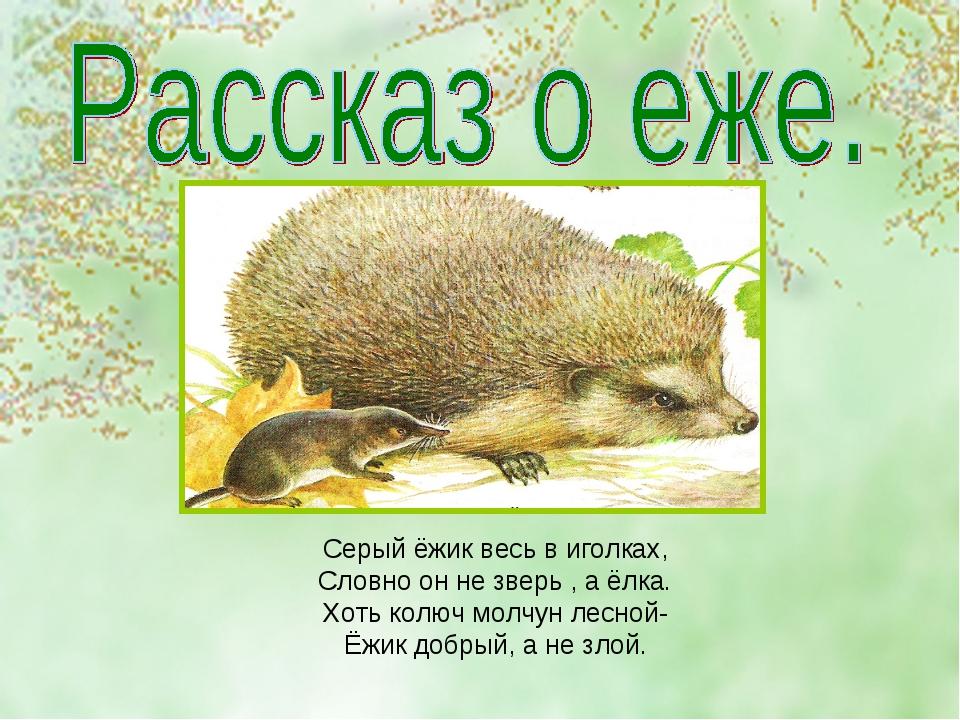 Серый ёжик весь в иголках, Словно он не зверь , а ёлка. Хоть колюч молчун лес...