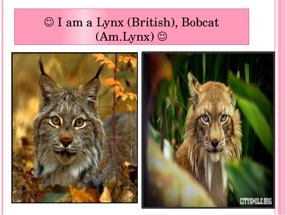  I am a Lynx (British), Bobcat (Am.Lynx) 
